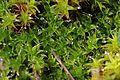 Moss - Tortula muralis (24498464112).jpg