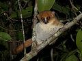 Mouse lemur (Microcebus sp.), Vohimana reserve, Madagascar (11389473974).jpg