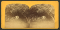 Mr. Ball's orange grove, St. Augustine, Fla, from Robert N. Dennis collection of stereoscopic views.png