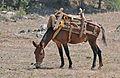 Mule - Katır 2.JPG