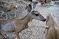 Mule Deer (Odocoileus hemionus) (5).jpg