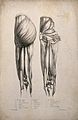Muscles of the upper leg; two figures. Lithograph by Battist Wellcome V0008188ER.jpg