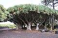 Museu do Vinho do Pico, Dragoeiros com idades estimadas entre 500 e 1000 anos, 1 Lagido da Madalena, Concelho da Madalena, ilha do Pico, Açores, Portugal.JPG
