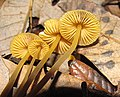 Mycena aurantiomarginata 34030.jpg