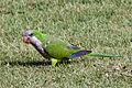 Myiopsitta monachus -Old San Juan -Puerto Rico.jpg