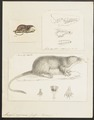 Myogale pyrenaica - 1700-1880 - Print - Iconographia Zoologica - Special Collections University of Amsterdam - UBA01 IZ20900157.tif