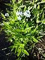 Myosotis scorpioides (subsp. scorpioides) sl27.jpg