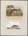Myoxus glis - 1700-1880 - Print - Iconographia Zoologica - Special Collections University of Amsterdam - UBA01 IZ20400189.tif