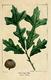 NAS-006 Quercus lyrata.png