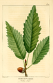NAS-010f Quercus muehlenbergii.png