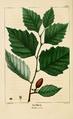 NAS-072 Betula nigra.png