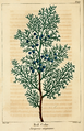 NAS-155 Juniperus virginiana.png