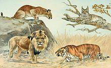 Renunciar duda Cinco  León contra tigre - Wikipedia, la enciclopedia libre