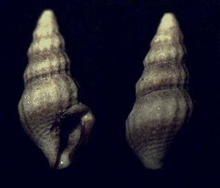 <i>Nannodiella</i> genus of molluscs