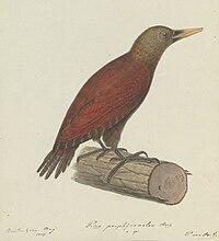 Naturalis Biodiversity Center - Natuurkundige Commissie - Art by Oort, P. van - Bird species - MMNAT01 AF NNM001000142 001.jpg