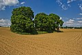 Naturdenkmal 3 Linden auf den Roggenäckern, Jettingen, Kennung 81150530008, von Südwest.jpg