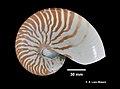 Nautilus pompilius (YPM IZ 059519).jpeg