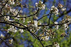 Nd hh garten de l aigle gr kirsche blüte 1.jpg