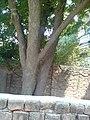 Neem Tree In my House - panoramio.jpg