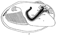 "Illustrated dissection of the mussel Anodonta, showing the crystalline style (""st"") in black"
