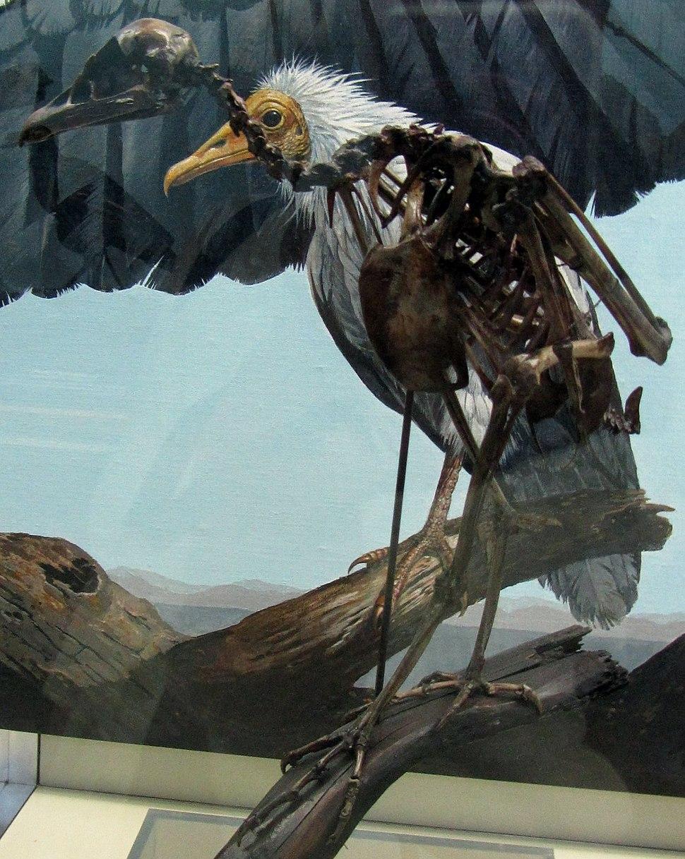 Neophrontops americanus