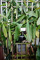 Nepenthes 'Miranda' - C. Fred Edwards Conservatory - Huntington Museum of Art - DSC05543.JPG