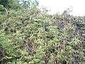Nepenthes maxima Sulawesi16.jpg
