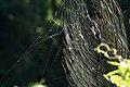 Nephila clavata (ジョロウグモ) (14943449294).jpg