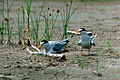 Nesting least terns Missouri River.jpg