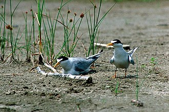 Least tern - Image: Nesting least terns Missouri River