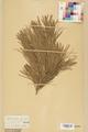 Neuchâtel Herbarium - Pinus sylvestris - NEU000003775.tif