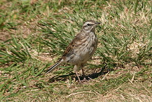 Pipit - The Australasian pipits of New Zealand may represent a separate species from those found elsewhere