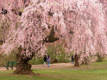 Cherry Blossoms Newark, New Jersey (from wikipedia)