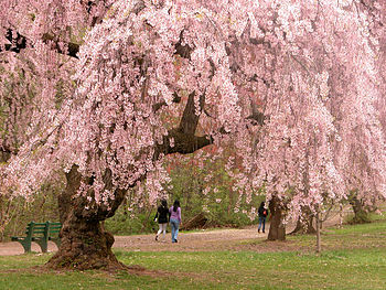 English: Cherry blossoms in Branch Brook Park,...