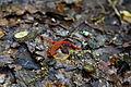 Newt-lizard-snail-trail - West Virginia - ForestWander.jpg