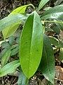 Niepa Bark Tree( Quassia indica), leaf.jpg