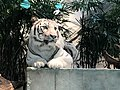 Nifrel White Tiger.jpg