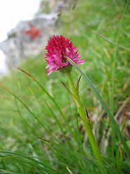 Listă De Plante Din Munții Romaniei Wikipedia