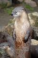 North American River Otter - CNP 3336 (6910886576).jpg