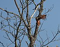 Northern Flicker (red-shafted (30682887187).jpg