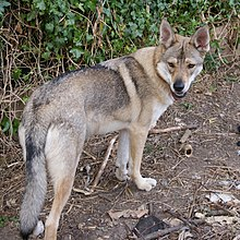 A wolflike dog in a relaxed standing pose, looking back over his shoulder at the camera