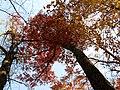 Northern Red Oak (31086850246).jpg
