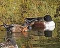 Northern Shoveler (Anas clypeata) - Flickr - Lip Kee.jpg