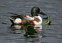A duck with a green head, white body, rufous side and large bill swims through vegetation.