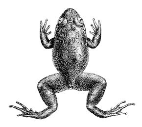 Description de l'image Nyctibatrachus deccanensis.jpg.