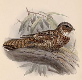 Nyctiphrynus yucatanicus (yucatánpoorwill)