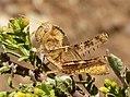 Nymph of Egyptian Locust. Anacridium aegyptium (32889855711).jpg