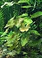 Nymphaea lotus kz01.jpg
