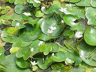 Nymphoides - Nymphoides indica