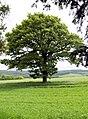 Oak tree outside ha ha. - geograph.org.uk - 483717.jpg